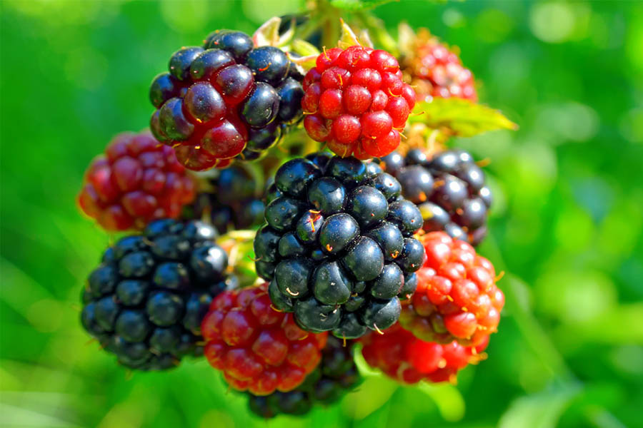 grow blackberries and raspberries