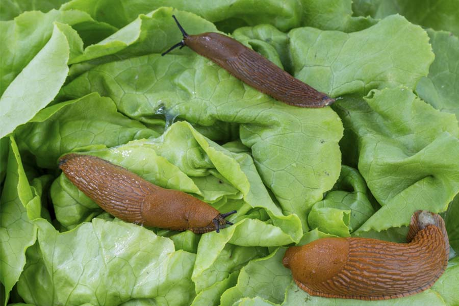 Battling Slugs - How I Control Slugs From Destroying My Garden