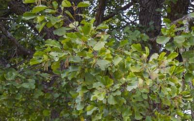 shade trees