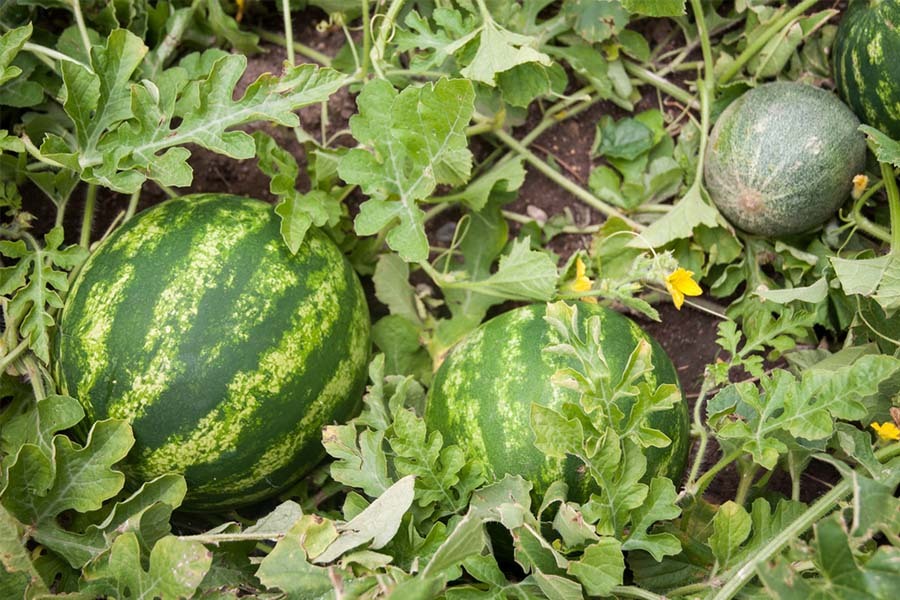 How To Plant And Grow Watermelons Tips From A Seasoned Melon Grower