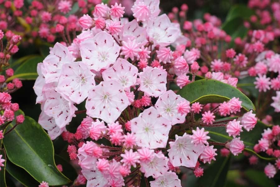 3 evergreen shrubs that give gorgeous year round color to your landscape evergreen shrubs mightylinksfo