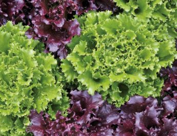 growing loose leaf lettuce