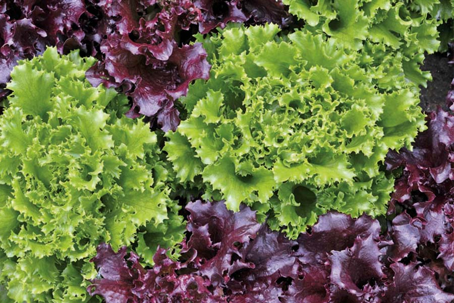 Growing Loose Leaf Lettuce Grow Tasty Homemade Salads With Ease