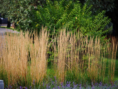 ornamental grass varieties