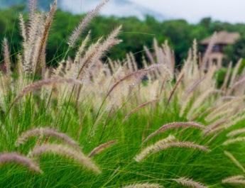 ornamental grass varieties