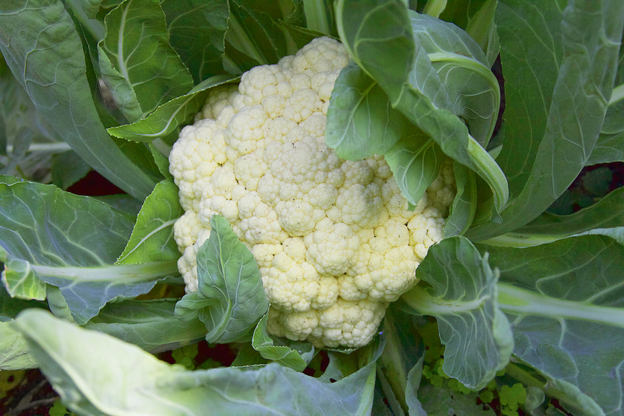 grow cauliflower