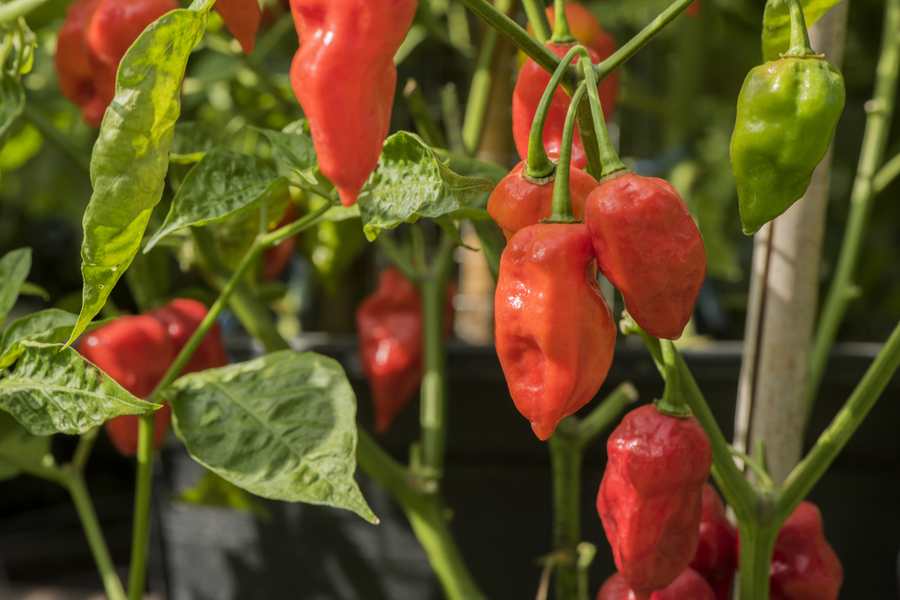 Growing Hot Peppers - The Spicy Side Of Gardening!