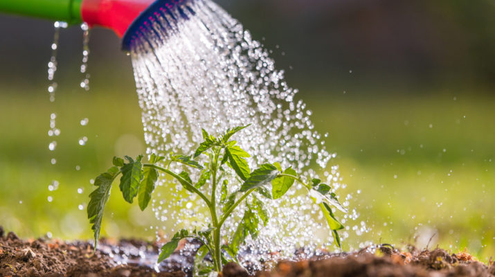 watering vegetable plants