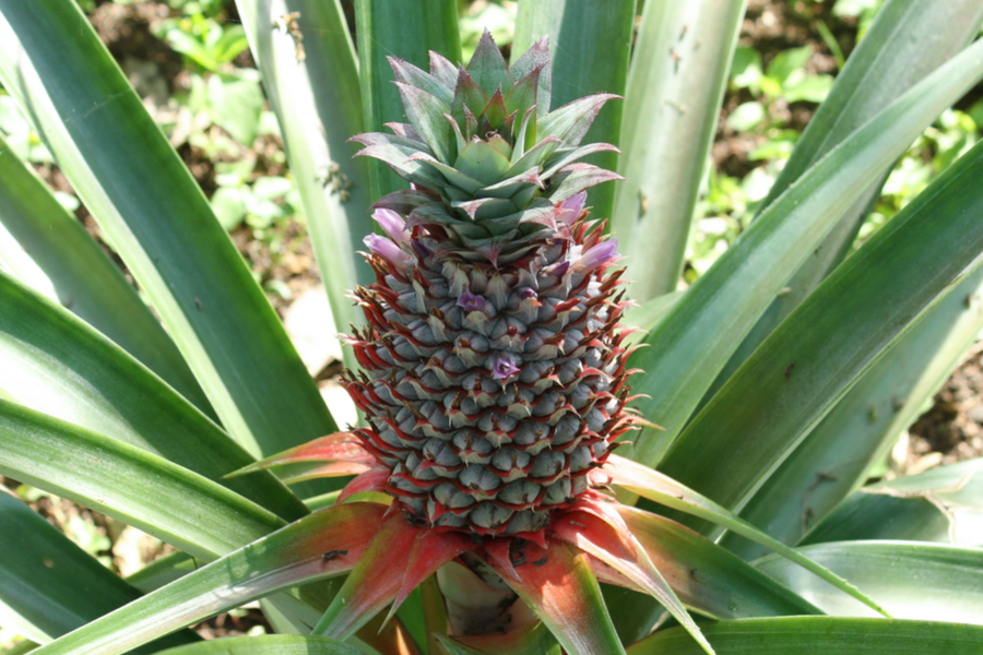 mature pineapple plant adult gallery. Black Bedroom Furniture Sets. Home Design Ideas