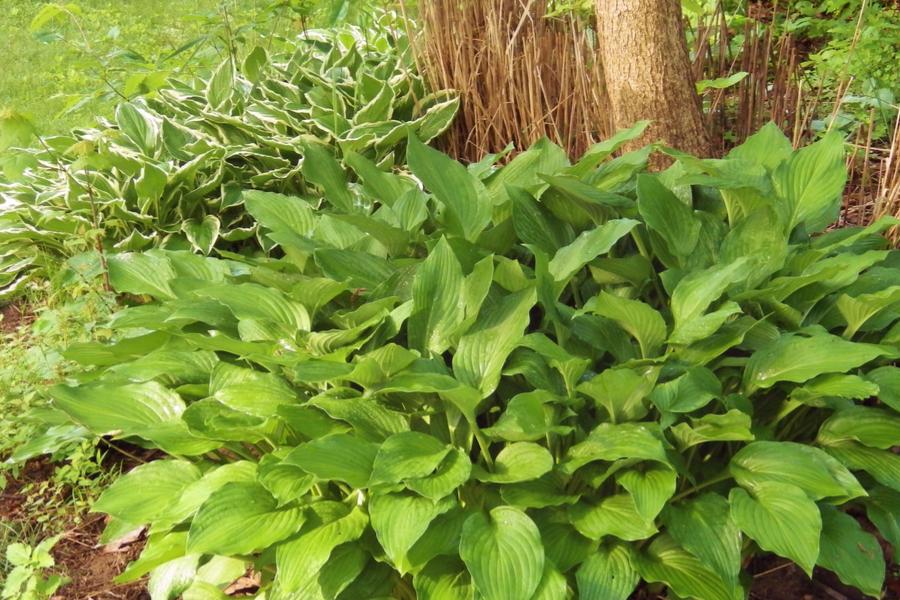 dividing hosta plants