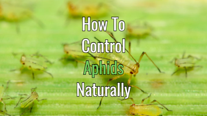 control aphids