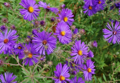 purple perennials