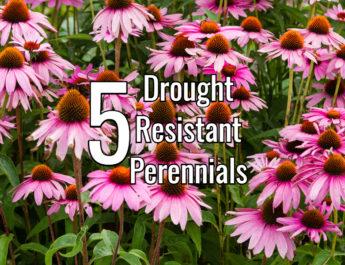 drought resistant perennials