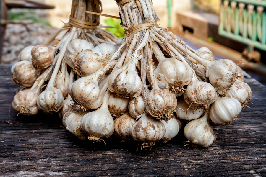 growing garlic how to plant hardneck garlic this fall. Black Bedroom Furniture Sets. Home Design Ideas