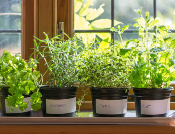 overwintering herbs