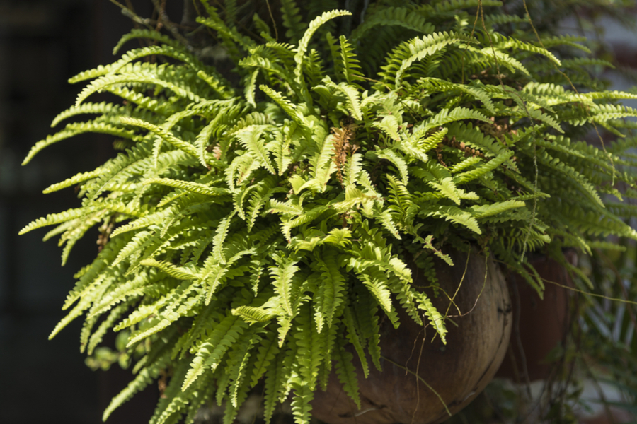 Bringing Ferns Indoors For Winter How To Save Ferns For Next Year