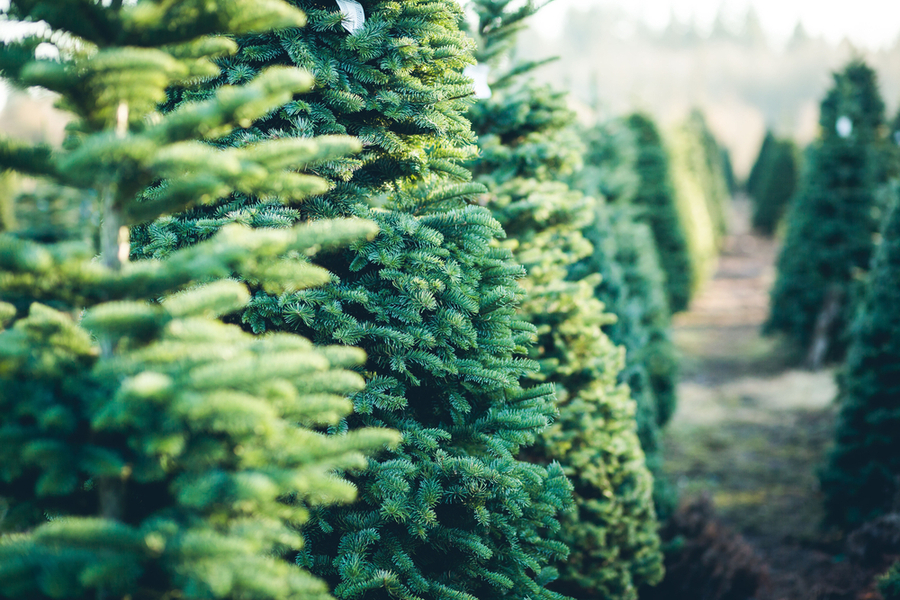How To Take Care Of A Real Christmas Tree.Caring For A Living Christmas Tree Before During And