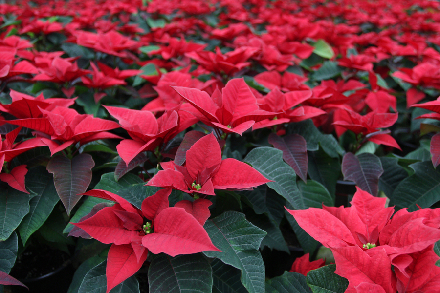 Poinsettia Care Keeping Poinsettias Alive Before And After Christmas