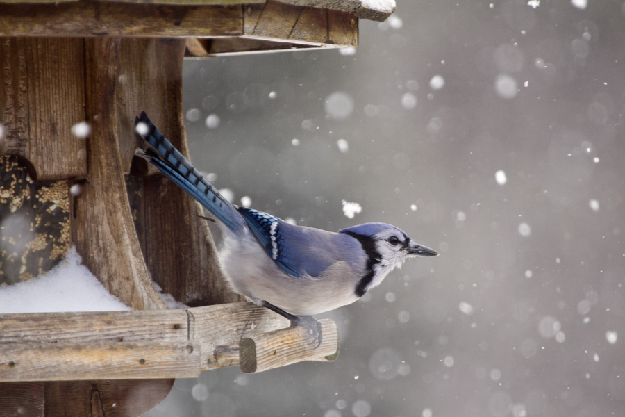 Winter Bird Feeding Tips