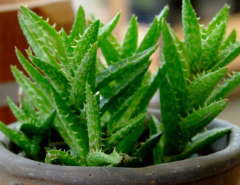 grow aloe vera