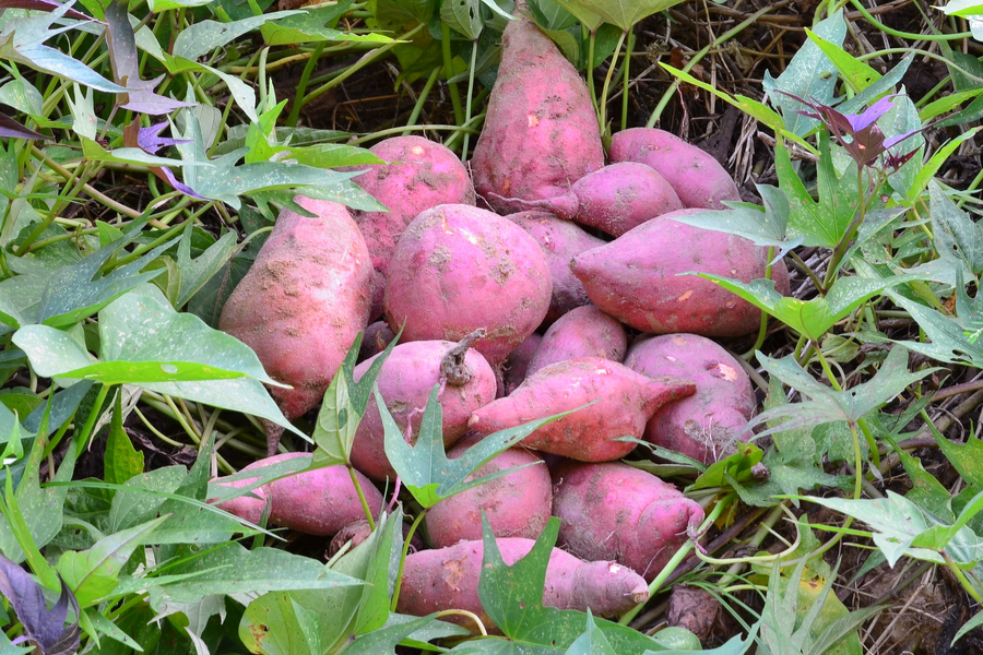 How To Grow Sweet Potatoes From Slips Top Tips A Great Crop