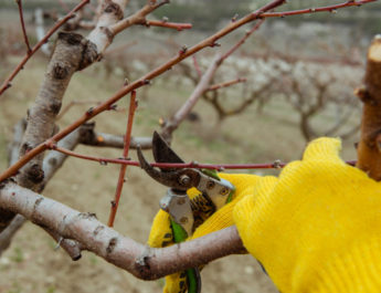 prune fruit trees
