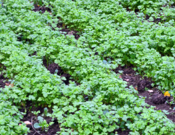 green manure crop