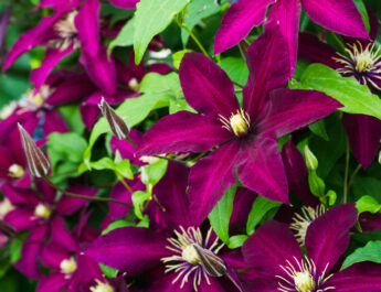 growing clematis
