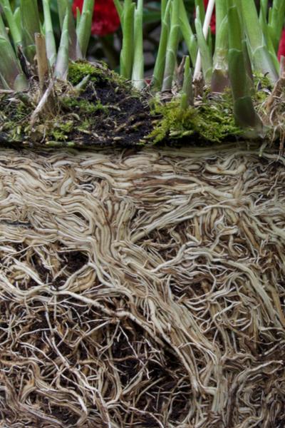 hosta  roots