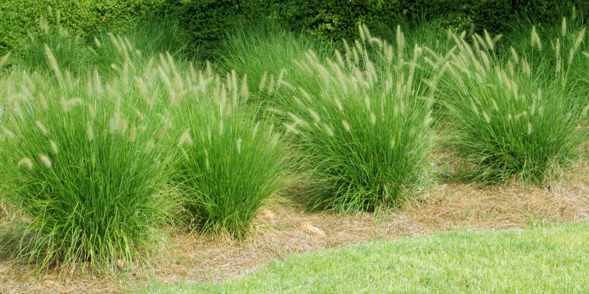 Dividing Ornamental Grasses How To Create New Plants For Free