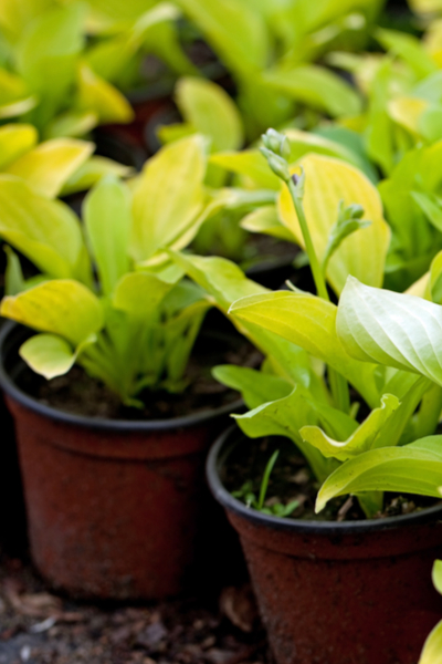 potted hosta plants