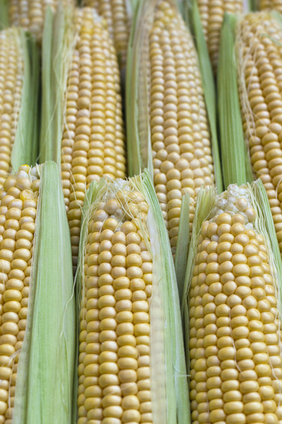 growing heirloom sweet corn