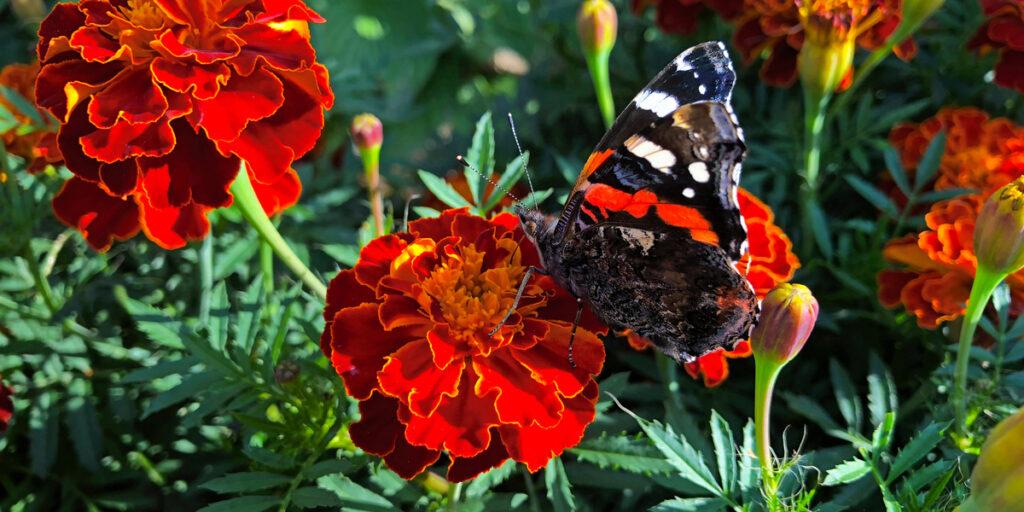 benefits of growing marigolds