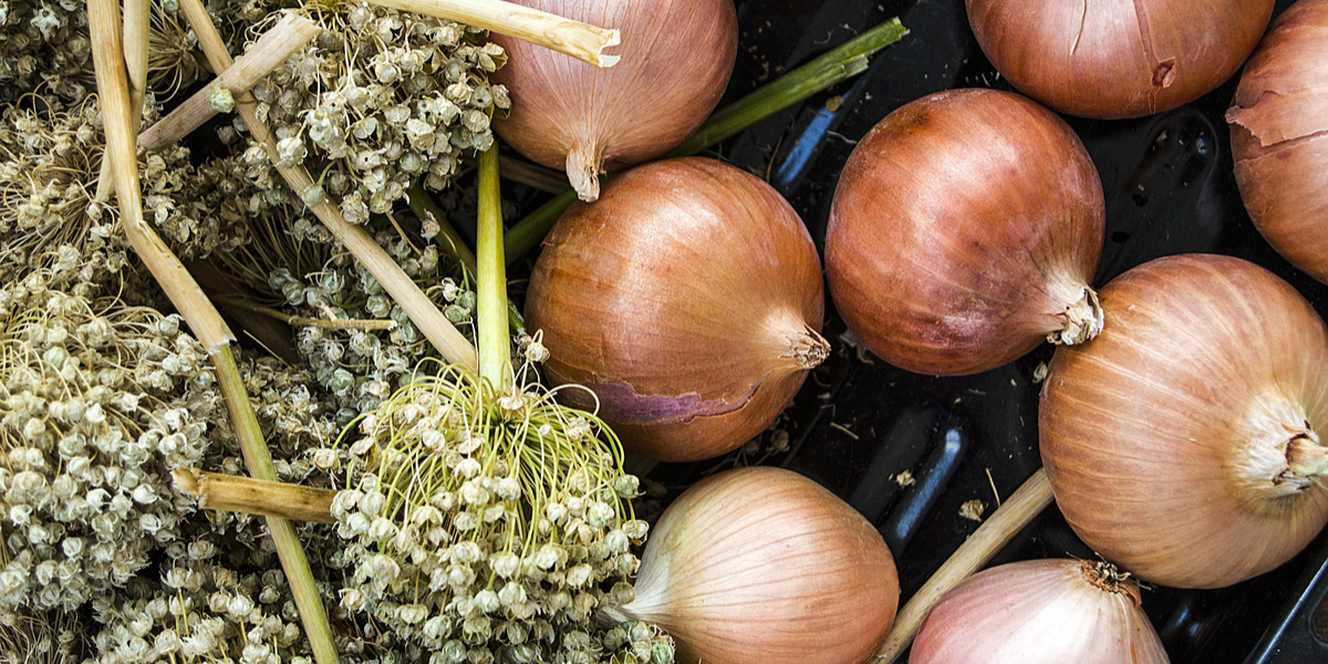 Onion Sets Vs Onion Seeds What Is The Best Method To Grow Onions