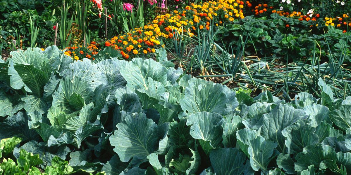 fertilize vegetable plants
