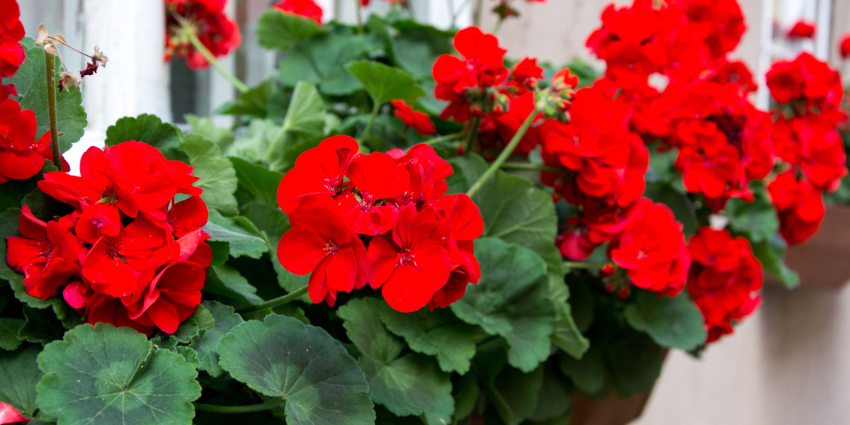 How To Keep Geraniums Blooming All Summer Long Geranium Care 101