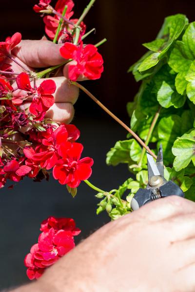 keep geraniums blooming