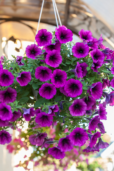 How To Keep Your Wave Petunias Blooming And Booming