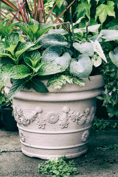 potted hosta perennial plant