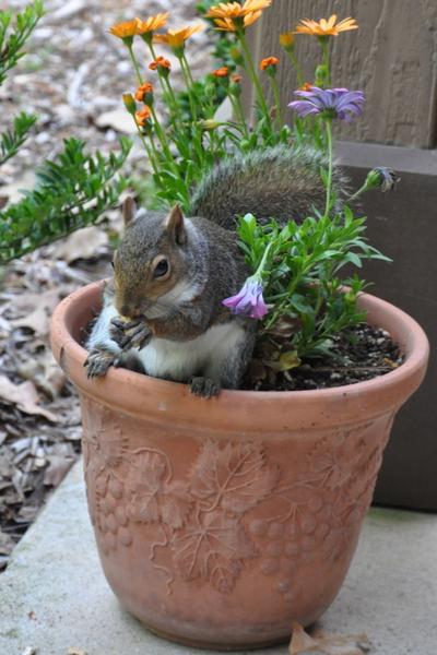squirrel damage to a planter
