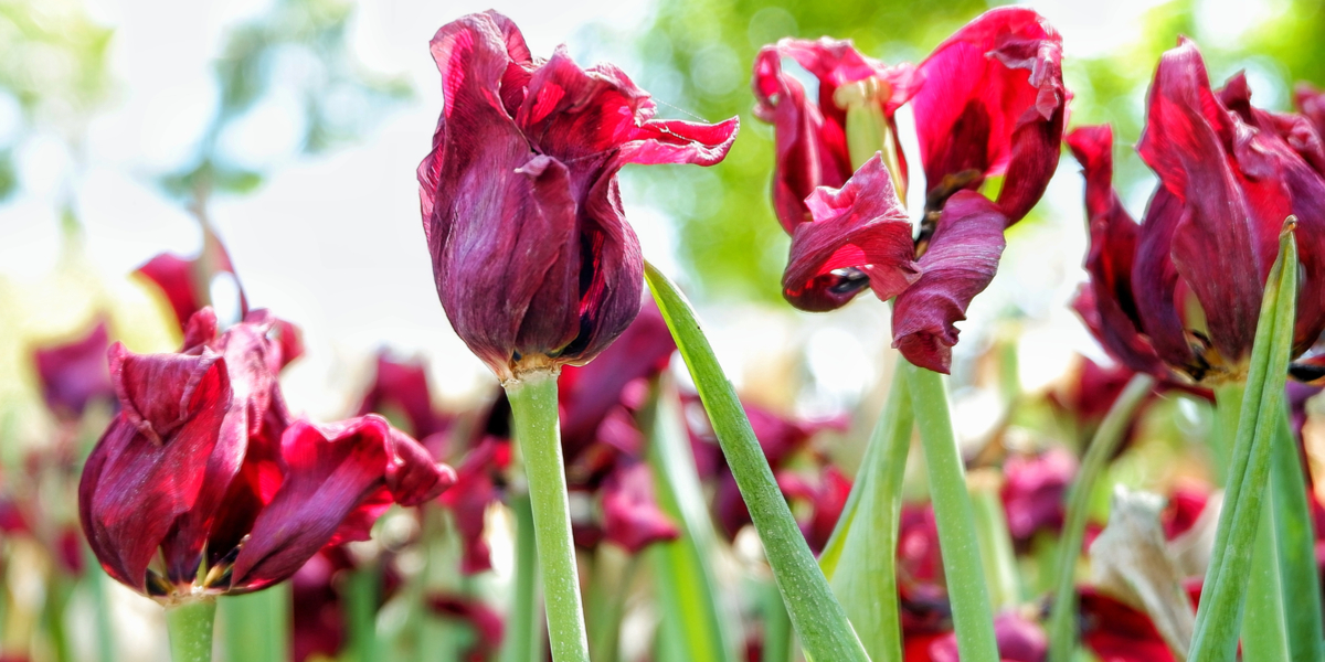 What To Do With Tulips After They Bloom In The Spring