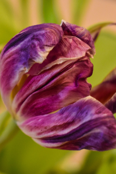 the spent blooms of a tulip - what to do with tulips after they bloom