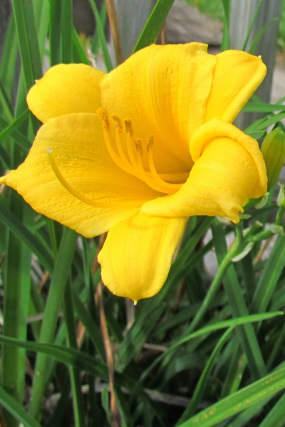 daylilies attract hummingbirds
