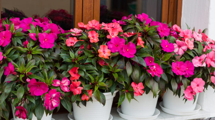 growing impatiens