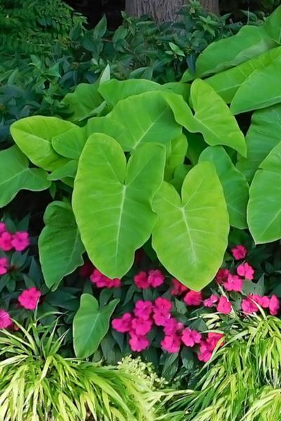 shade loving annuals