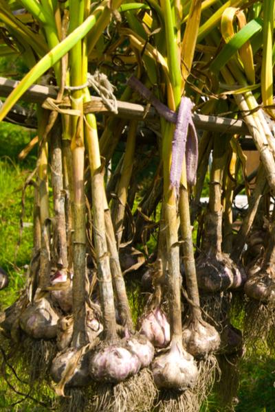 hanging up garlic