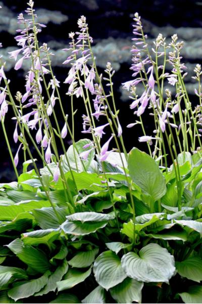 Hosta Plant Blooming