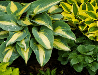 keep hostas beautiful