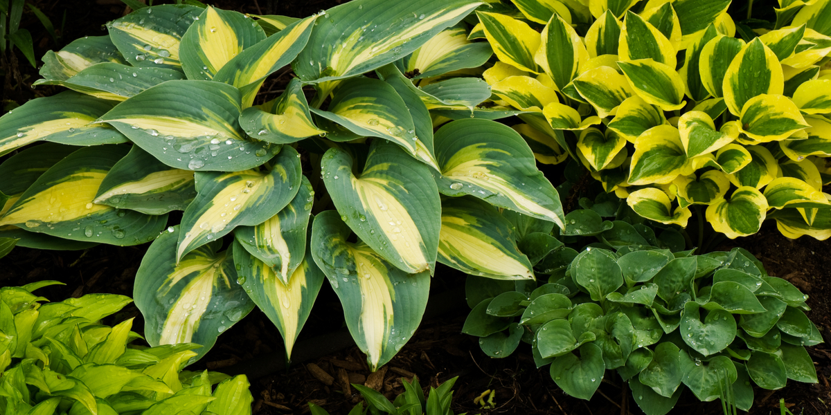 How To Keep Hostas Beautiful After They Bloom Summer
