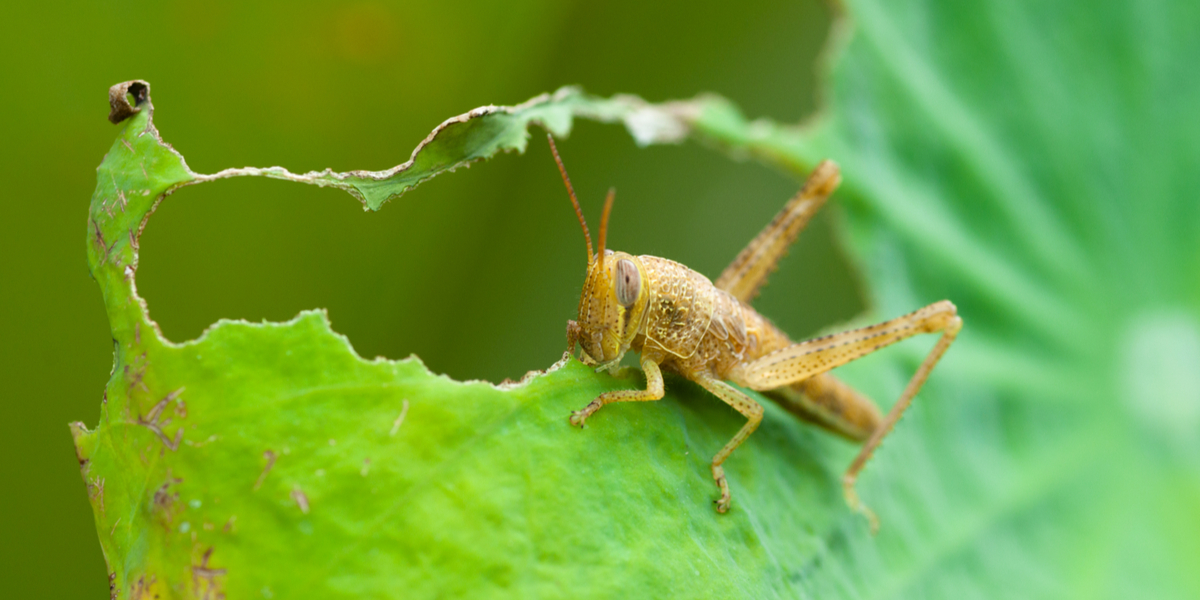 how to stop grasshoppers